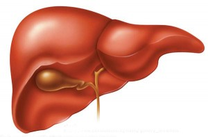 Liver, your largest organ, and gallbladder.